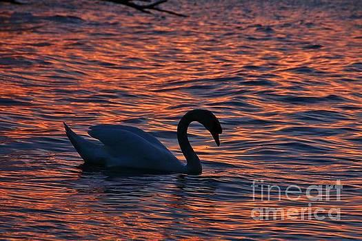 Sunset Swan Swim by Tony Lee