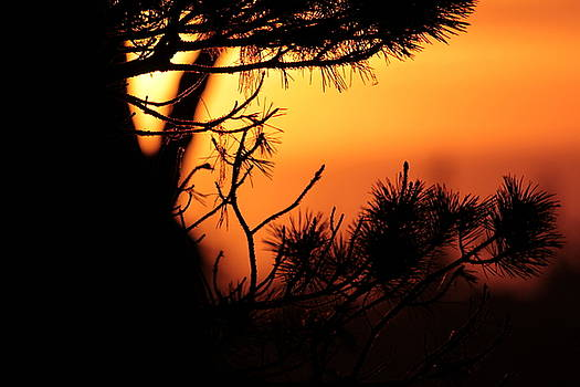 Sunset through the Pine by Sanna Jane Fase