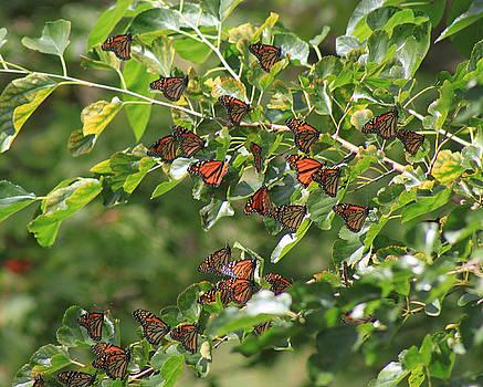 Cathy  Beharriell - Sunshine and Butterflies