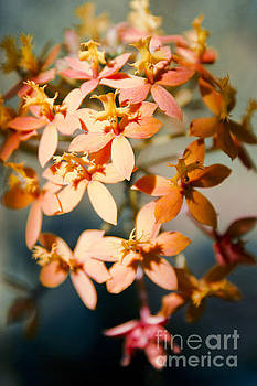 Sunshine Orchids - Butterfly Orchid by Sharon Mau