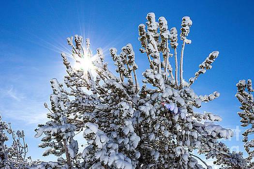 Sunshine through Snow Covered Tree by G Matthew Laughton