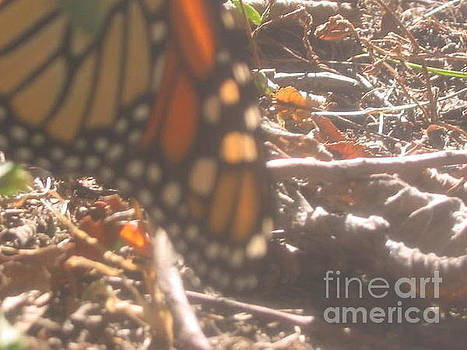 Sunwashed Monarch by Iris Newman