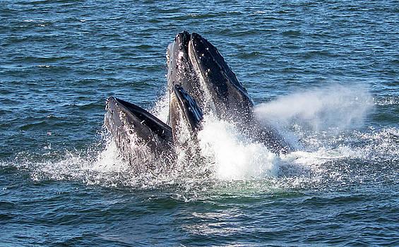 Surface Feeding Humpback Whales by Randy Straka