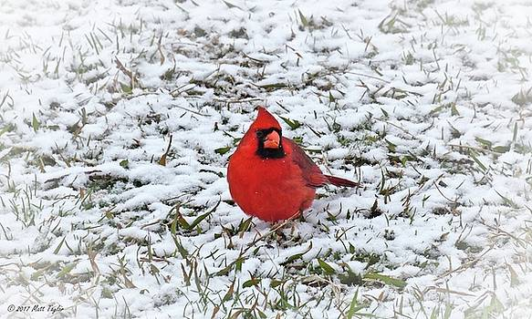 Surprised Cardinal In Late Season Snowfall by Matt Taylor