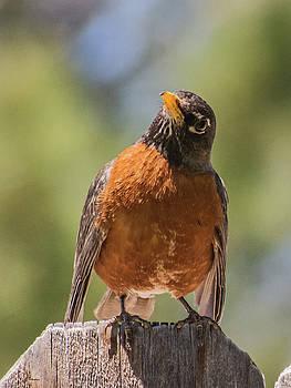 Surprised Robin by Allen Sheffield