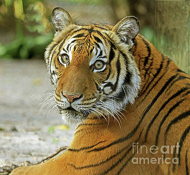 Eyes of the Tiger by Larry Nieland