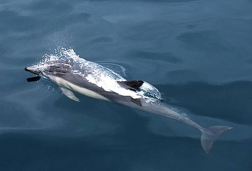 Don Kreuter - Surreal Common Dolphin