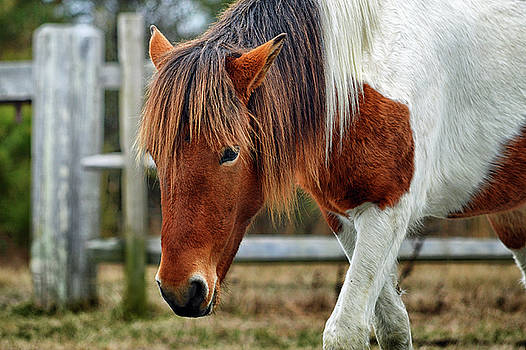 Susi Sole N2BHS-M Says Don't Fence Me In by Assateague Pony Photography