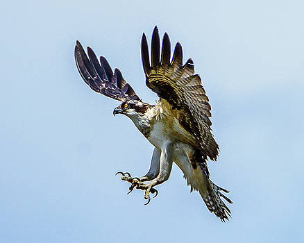 Suspended Osprey by Jerry Cahill