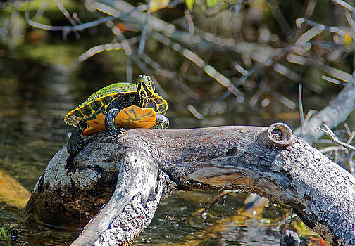 Suwannee Cooter Turtle on Branch by Sally Weigand