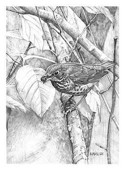 Swainsons Thrush with Berry by Steve Hamlin