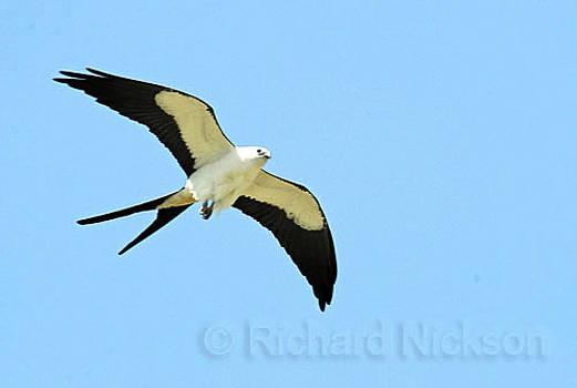 Swallow-tail Kite by Richard Nickson