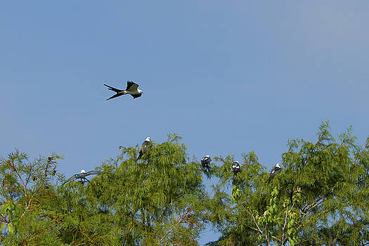 Swallow-tailed Kite Flyover by Paul Rebmann