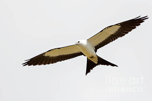 Swallow-tailed Kite by Natural Focal Point Photography