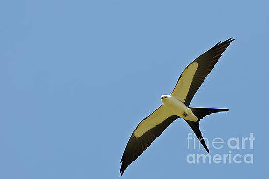 Swallow Tailed Kites by Natural Focal Point Photography