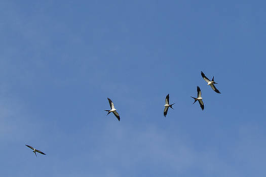 Swallow-tailed Kites Soaring by Paul Rebmann