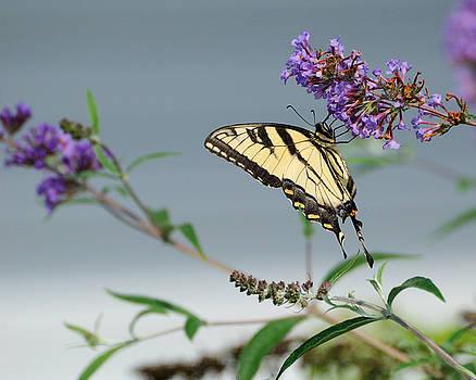 Edward Sobuta - Swallowtail 1