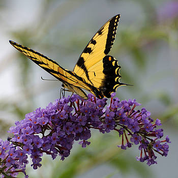 Edward Sobuta - Swallowtail 2
