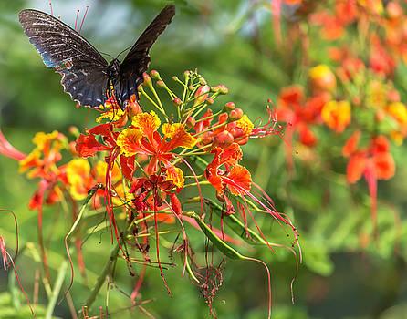 Swallowtail 2 by Leticia Latocki