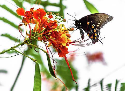 Swallowtail 5 by Leticia Latocki