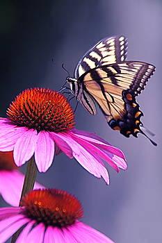 Byron Varvarigos - Swallowtail and Coneflower