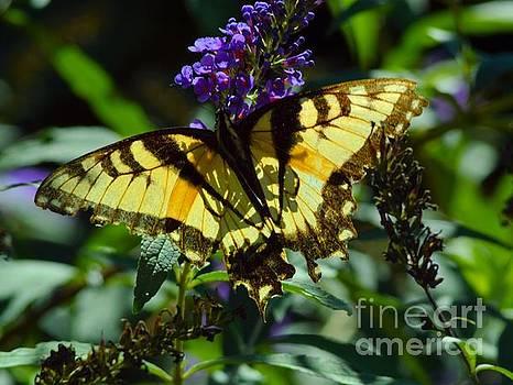 Robyn King - Swallowtail Butterfly #2