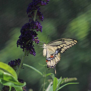 Swallowtail Butterfly by Beth Fox