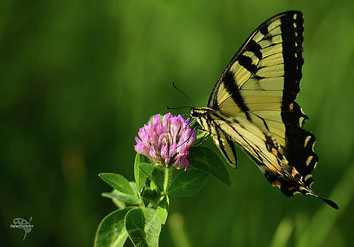 Swallowtail Butterfly by Brian Fisher