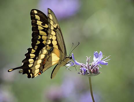 Dee Carpenter - Swallowtail Butterfly