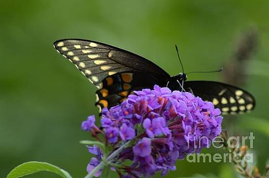 Robyn King - Swallowtail Butterfly Enjoying A Summer Breeze