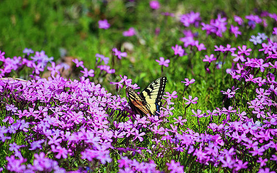 Jill Lang - Swallowtail Butterfly in the Primrose