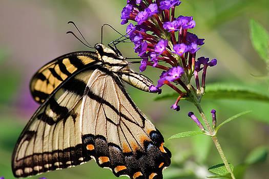 Jill Lang - Swallowtail Butterfly