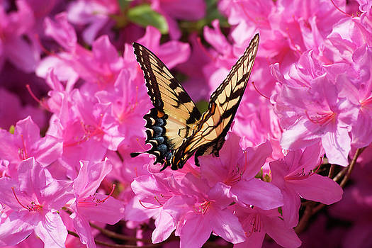 Jill Lang - Swallowtail Butterfly on Azaleas