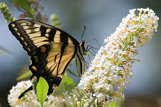 Jill Lang - Swallowtail Butterfly on Bush