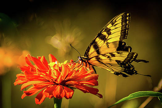 Swallowtail Butterfly by Patrick Collins