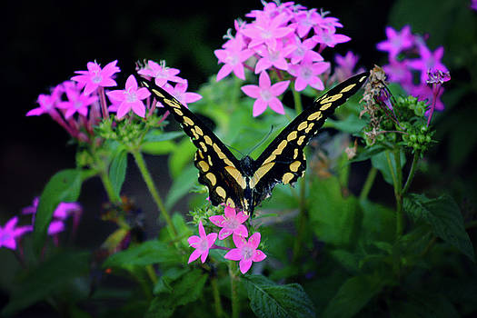 Swallowtail Butterfly rests on pink flowers by Toni Hopper
