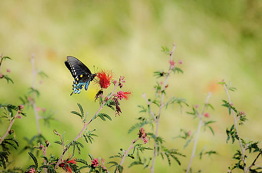 Swallowtail by Emily Bristor