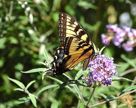 Edward Sobuta - Swallowtail Feeding