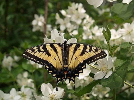 Swallowtail by Martha Boyle