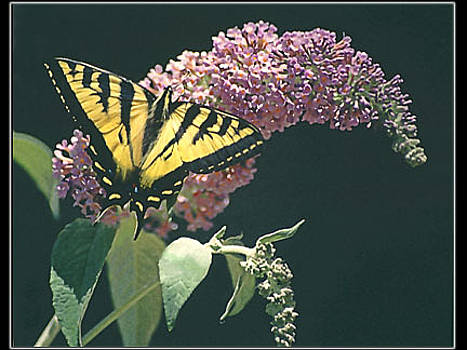 Swallowtail on Butterfly Bush by Patricia Whitaker