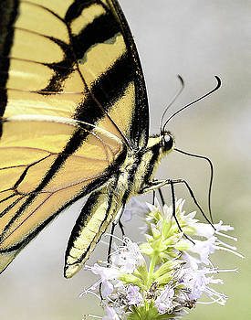 Swallowtail on Hyssop Blossom by William Jobes