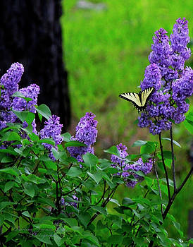 Darlene Bell - Swallowtail On Lilacs