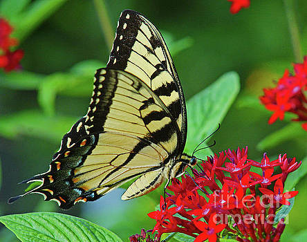 Swallowtail on Pentas by Larry Nieland