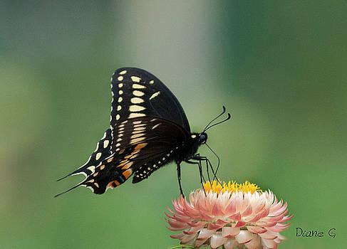 Swallowtail On Straw Flower by Diane Giurco