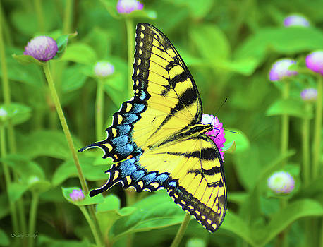 Kathy Kelly - Swallowtail on Thistle
