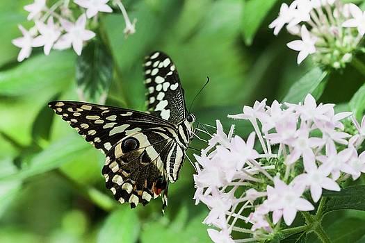 Swallowtail perching  by Ruth Jolly