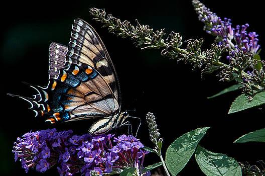 Swallowtail Posing by Ron Plasencia
