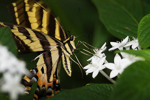 Swallowtail sips by Ruth Jolly