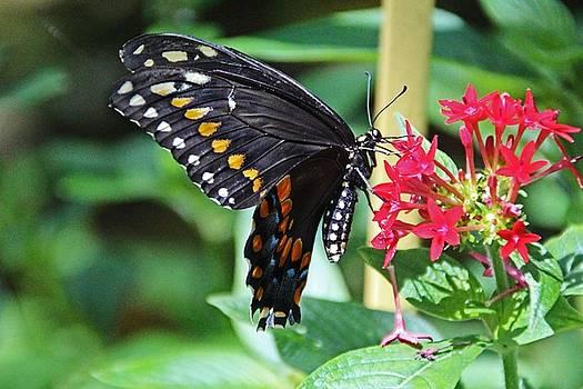 Swallowtail Sunshine by Michiale Schneider
