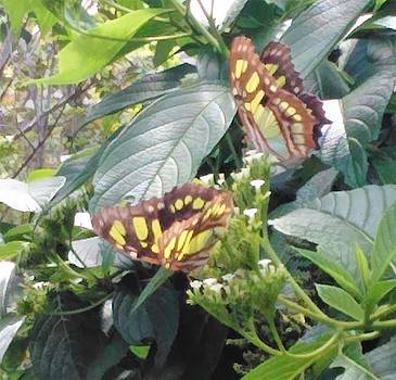 Swallowtails by Andrew Blitman